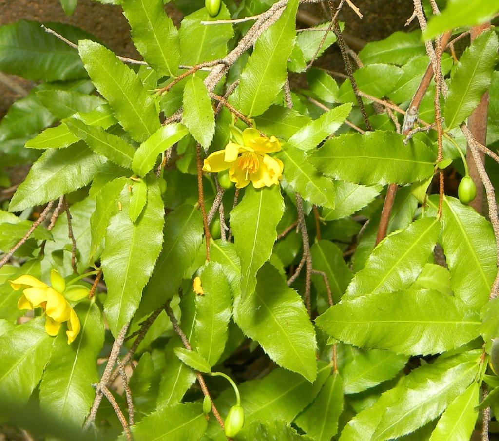 *Ochna* - Ochna serrulata - plante à Mickey Parc_p16
