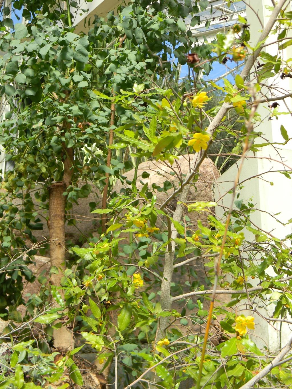 *Ochna* - Ochna serrulata - plante à Mickey Parc_p17