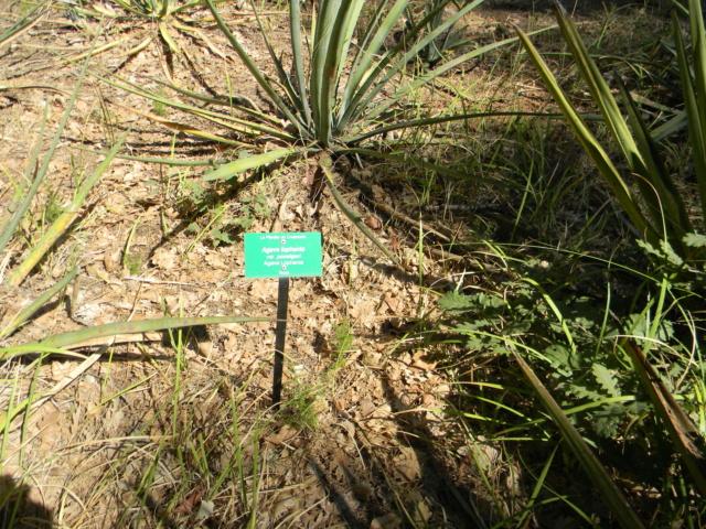 Agave lophanta  - Page 5 Planti10