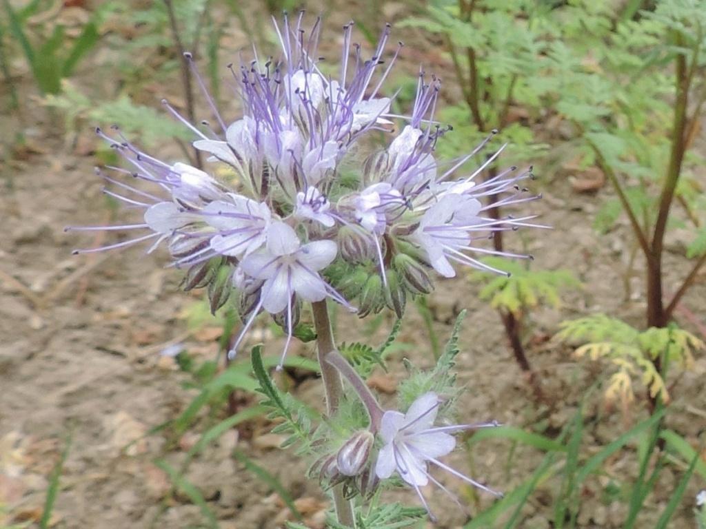 Phacélie comme herbicide Saint_22