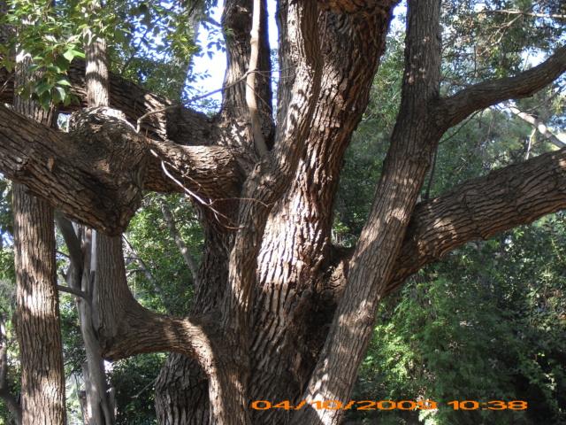 Cinnamomum camphora - camphrier - Page 5 Scanne11