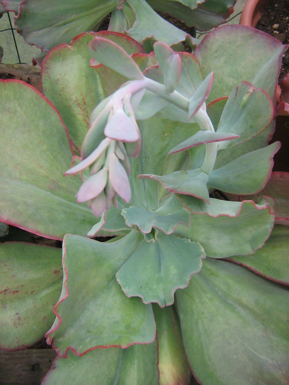 Echeveria gigantea et variabilité Toussa10