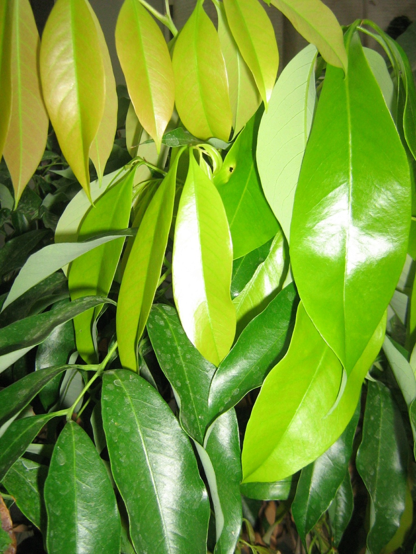 Litchi sinensis Toussa13