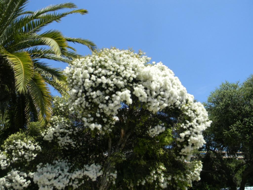 Melaleuca linariifolia Voie_o32