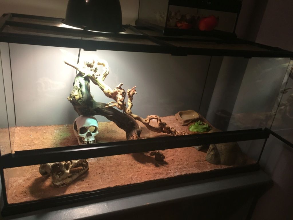 Pogona refuse de s'alimenter  02fabf10