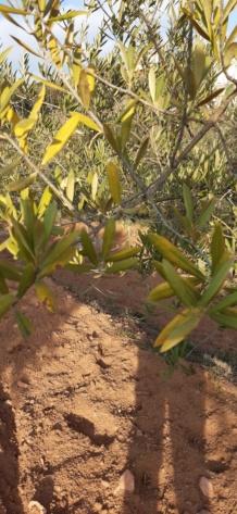 Hojas amarillas en los olivos 20210210