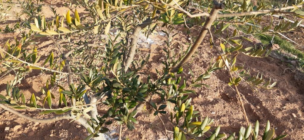 Hojas amarillas en los olivos 20210212