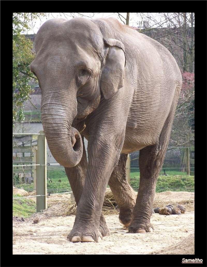 Les elephants (Elephas maximus) 022210