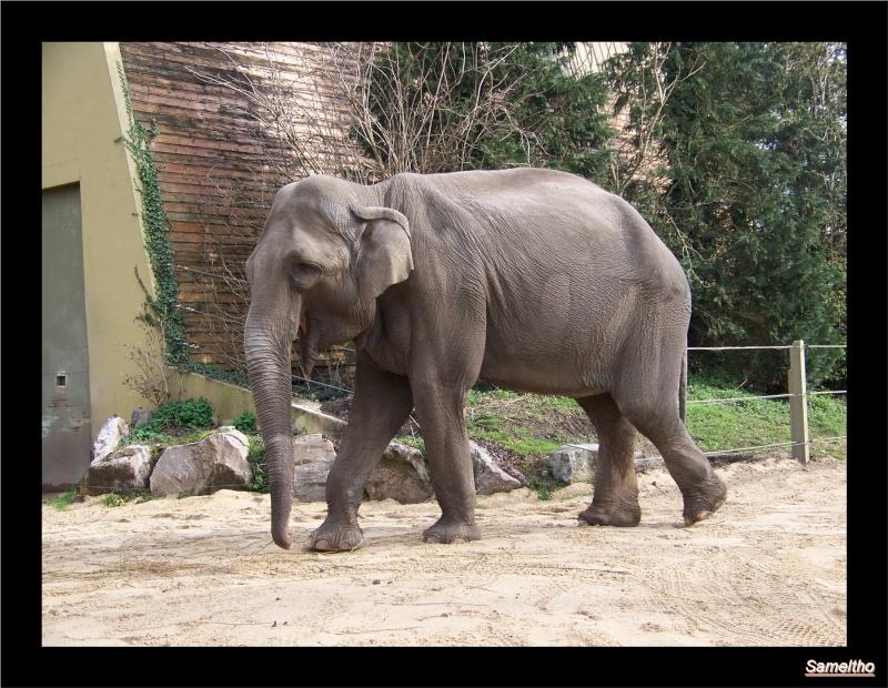 Les elephants (Elephas maximus) 024210