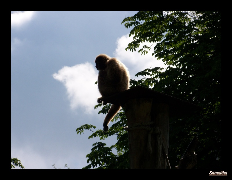 Le gibbon lar (Hylobates lar) 100_2410
