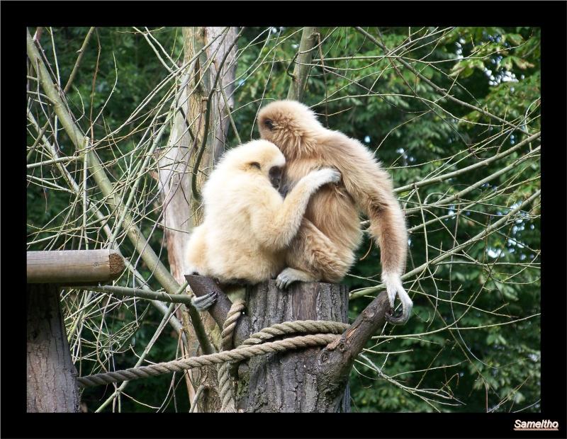 Le gibbon lar (Hylobates lar) 100_2710