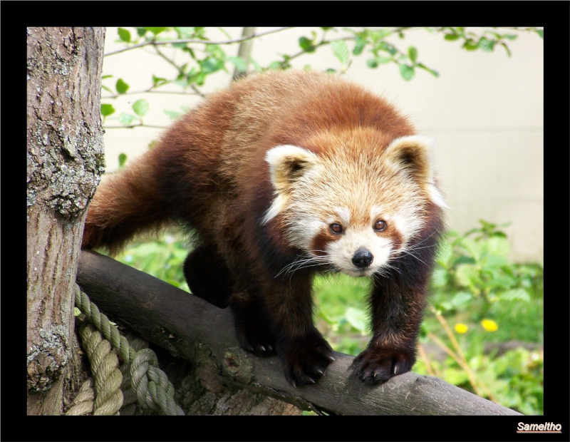 Le panda roux (Ailurus fulgens fulgens ) 100_4510