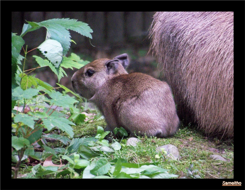 Le capybara (Hydrochaeris hydrochaeris) 100_4812