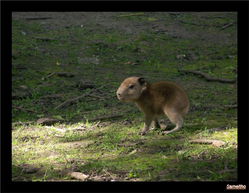 Le capybara (Hydrochaeris hydrochaeris) 100_4813