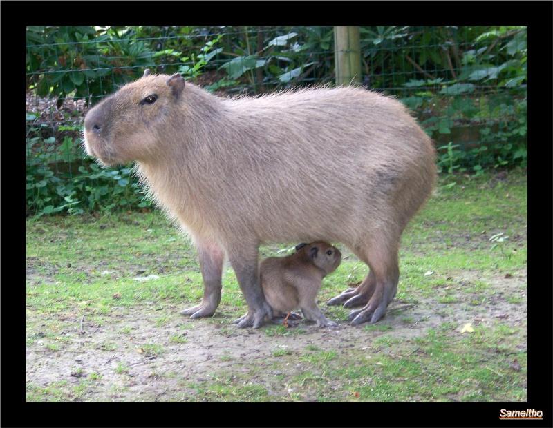 Le capybara (Hydrochaeris hydrochaeris) 100_4814
