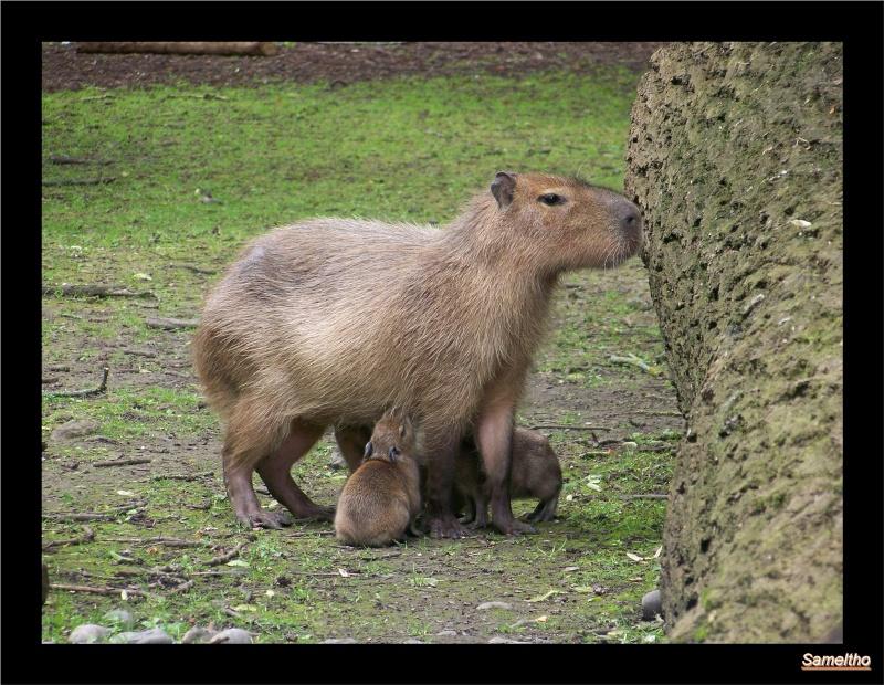 Le capybara (Hydrochaeris hydrochaeris) 100_4815