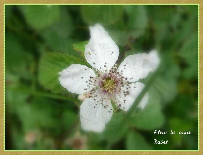 fleur de ronce P1010614