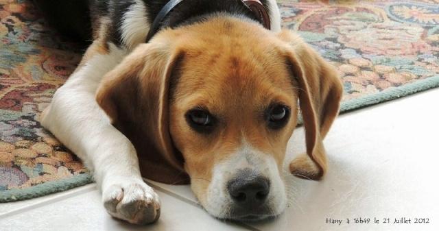 Harry, beagle mâle 13 mois recherche famille aimante Harry_10