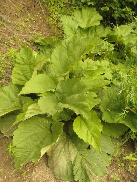 ma rhubarbe P1080014