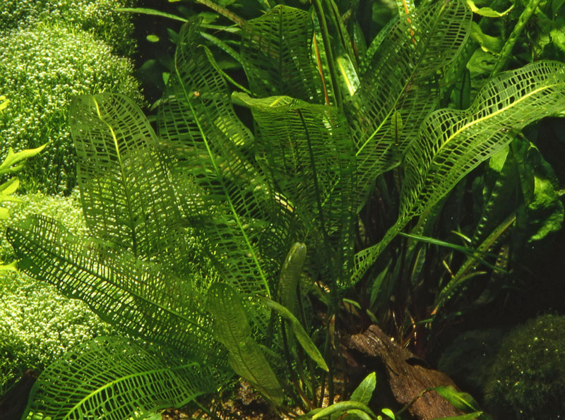 Aponogeton madagascariensis 08910