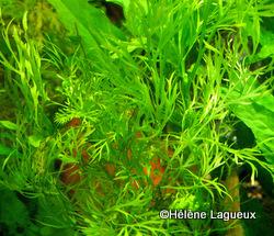 Ceratopteris thalictroides Copie_12