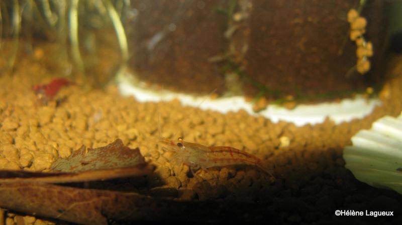 Crevettes cerises Img_2119