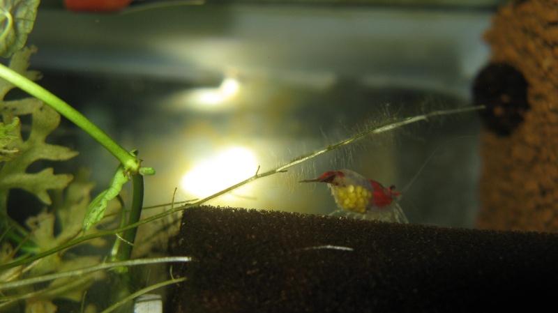 Crevettes cerises Img_2211