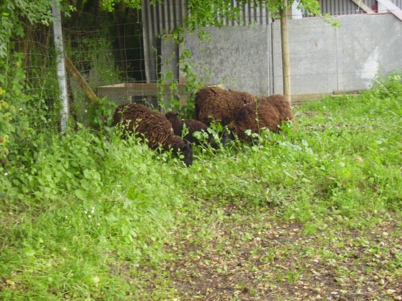 Moutons Photo_70