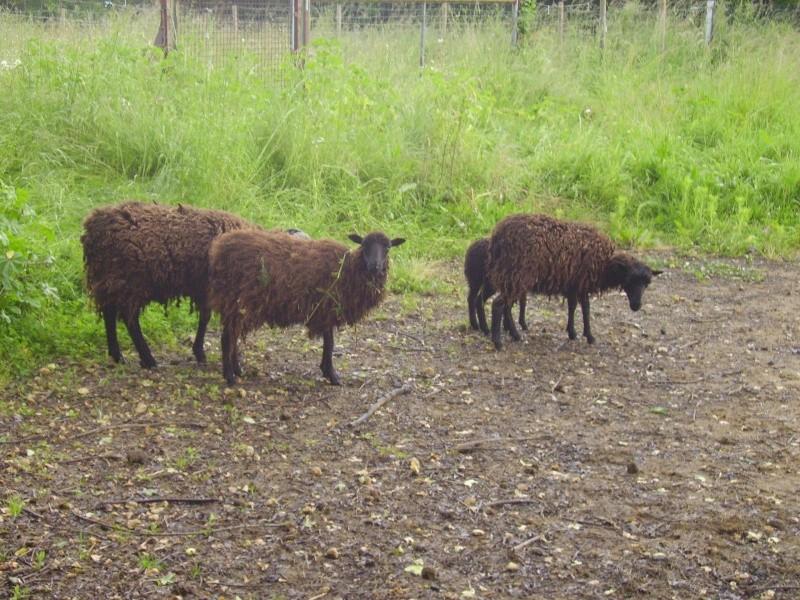 Moutons Photo_73