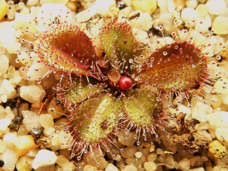Drosera tubereux Browni10