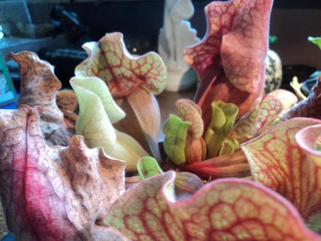 Sarracenia purpurea Dsc00710