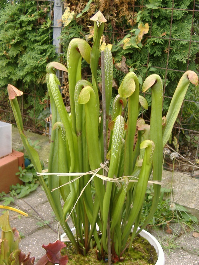 Sarracenia oreophila Dscf2910