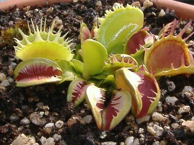 Dionaea Muscipula 'Fused tooth'  Dscf3940