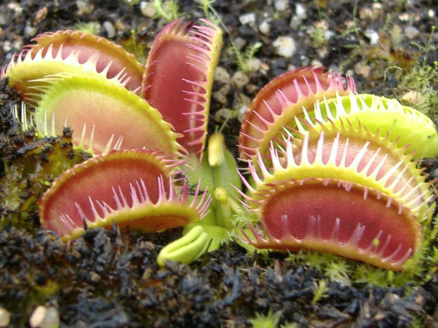 Dionaea Muscipula 'Louchapates' Dscf4038
