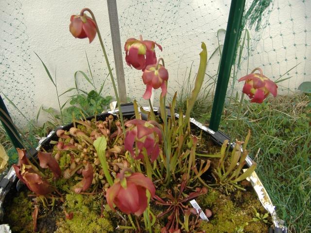 Bibliothèque fleurs de sarracenia.. Dscf4332
