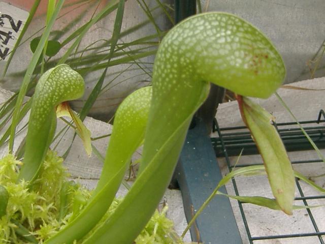 Darlintonia californica,mon mien Dscf4527