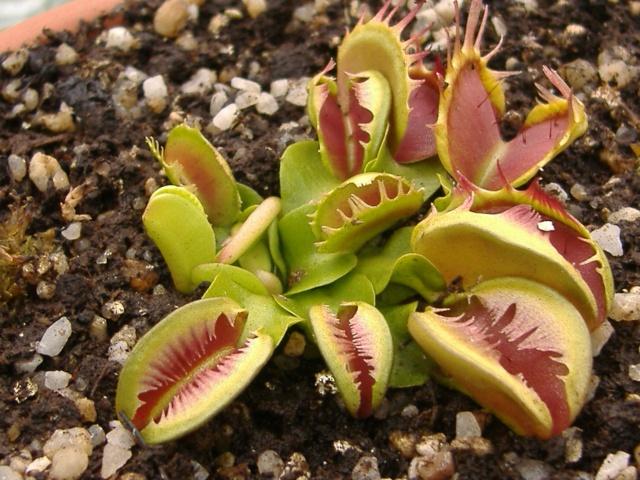 Dionaea Muscipula 'Fused tooth'  Fused_12