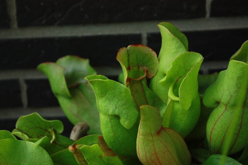 Sarracenia purpurea Img12810