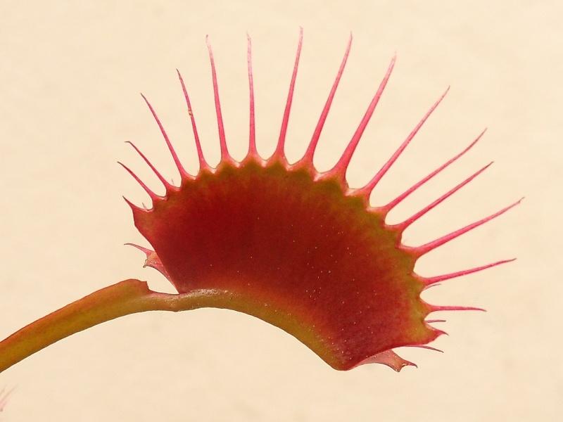 Dionaea 'Miss pimbeche' Miss10