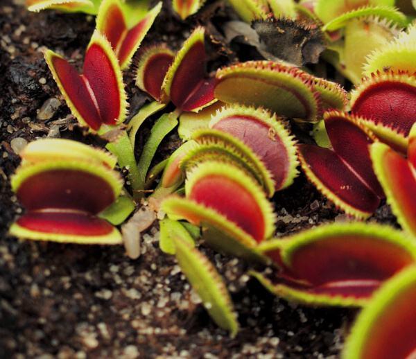 Différencier Dionaea Muscipula 'Dentate' et 'Sawtooth' Sawtoo12