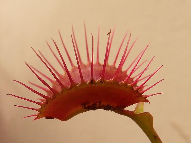 Dionaea 'Miss pimbeche' Sdc16313