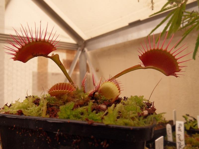 Dionaea 'Miss pimbeche' Sdc16314