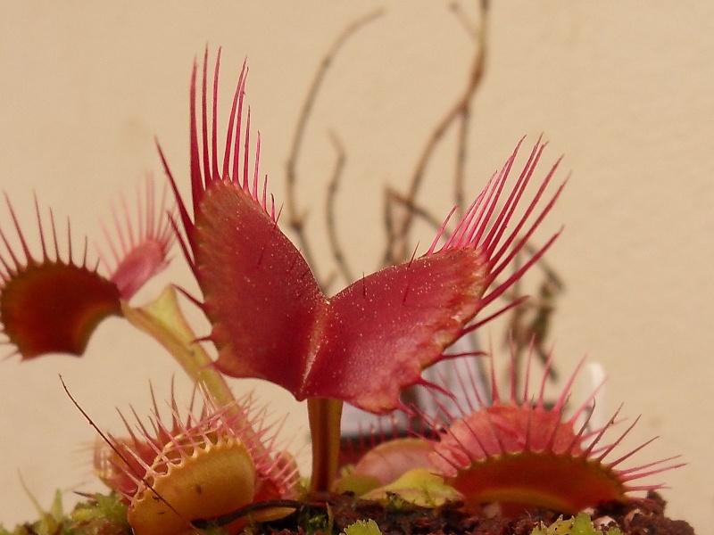 Dionaea 'Miss pimbeche' Sdc16316