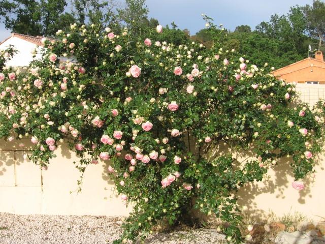Quel est le nom de ce rosier? Img_0055