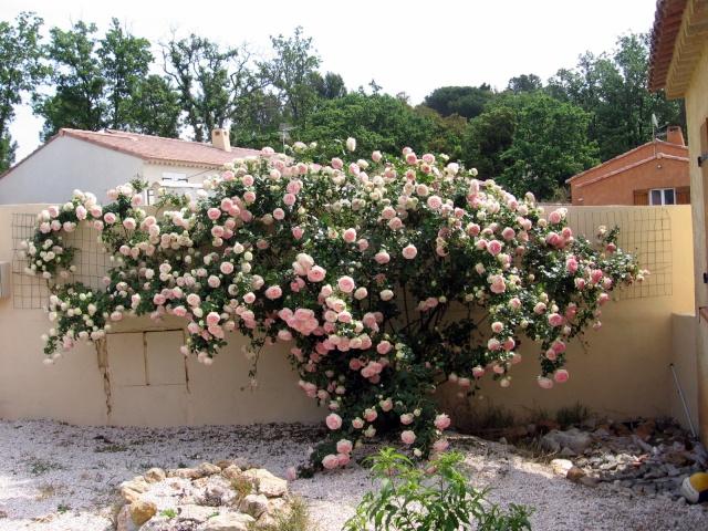 Quel est le nom de ce rosier? Img_0056