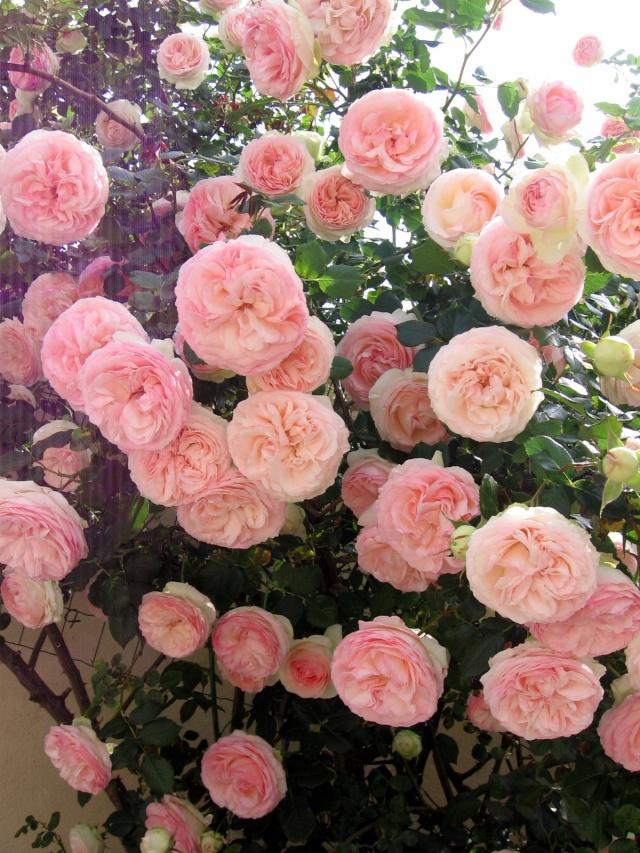 Quel est le nom de ce rosier? Img_0057