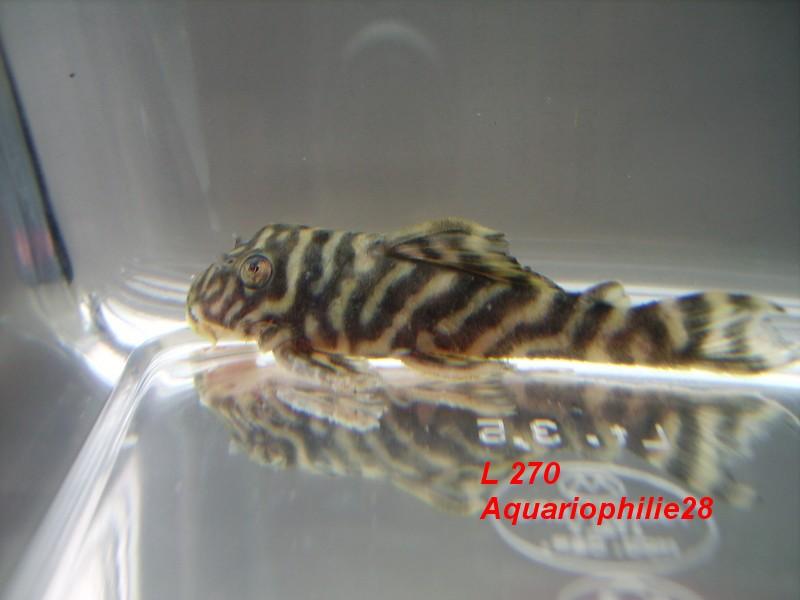"Hypancistrus ""Chocolate zebra"" L27010"