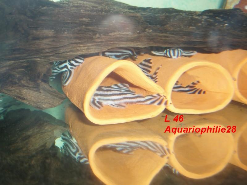 Hypancistrus zebra L4610