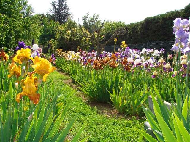 Les iris -culture, multiplication, entretien, variétés. Dsc01110