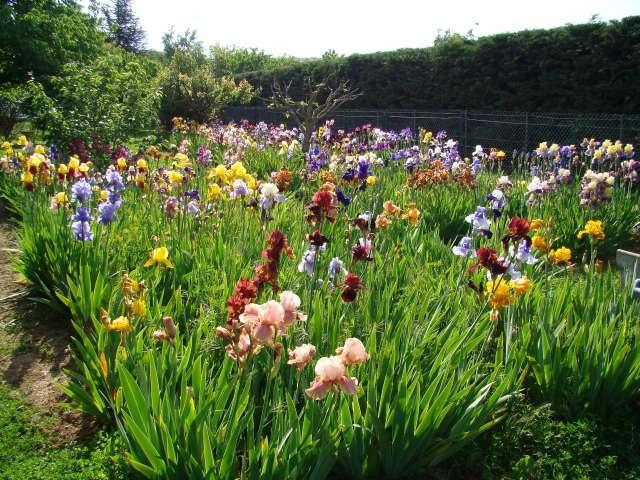 Les iris -culture, multiplication, entretien, variétés. Dsc01111